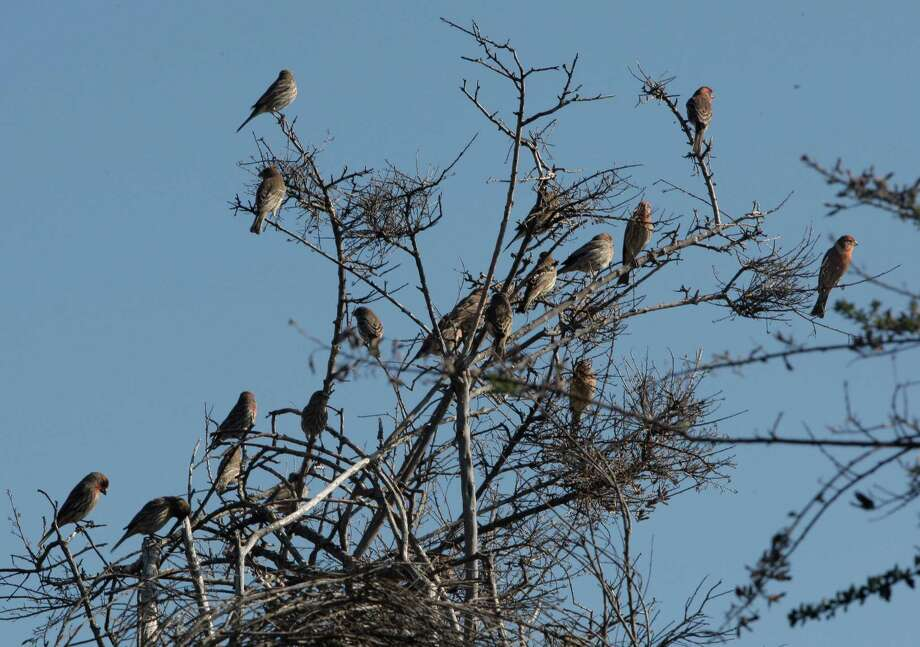 A group of birds sit on the branches of a tree at the Oyster Bay Regional Shoreline. Photo: Daniel E. Porter / The Chronicle / ONLINE_YES