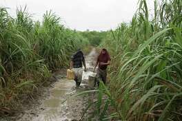 "Two ""pirates"" walk past sugar cane fields on their way to the site of a gasoline pipeline spill in Mexico's Tabasco state on Nov. 19, 2014. They covered their heads with their shirts to avoid being identified in a photo. Criminals tap gasoline and crude oil pipelines weekly in Mexico, provoking losses of more than $1 billion a year. (Tim Johnson/McClatchy DC/TNS)"