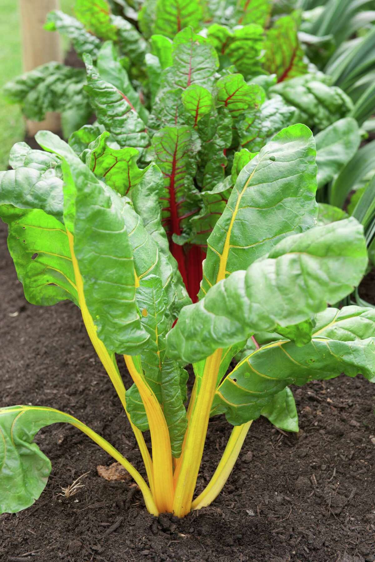 Swiss chard is among the vegetables that thrive in winter gardens. Beta vulgaris subsp. cicla 'Bright Lights' (Swiss Chard) with yellow and red stems and green leaves