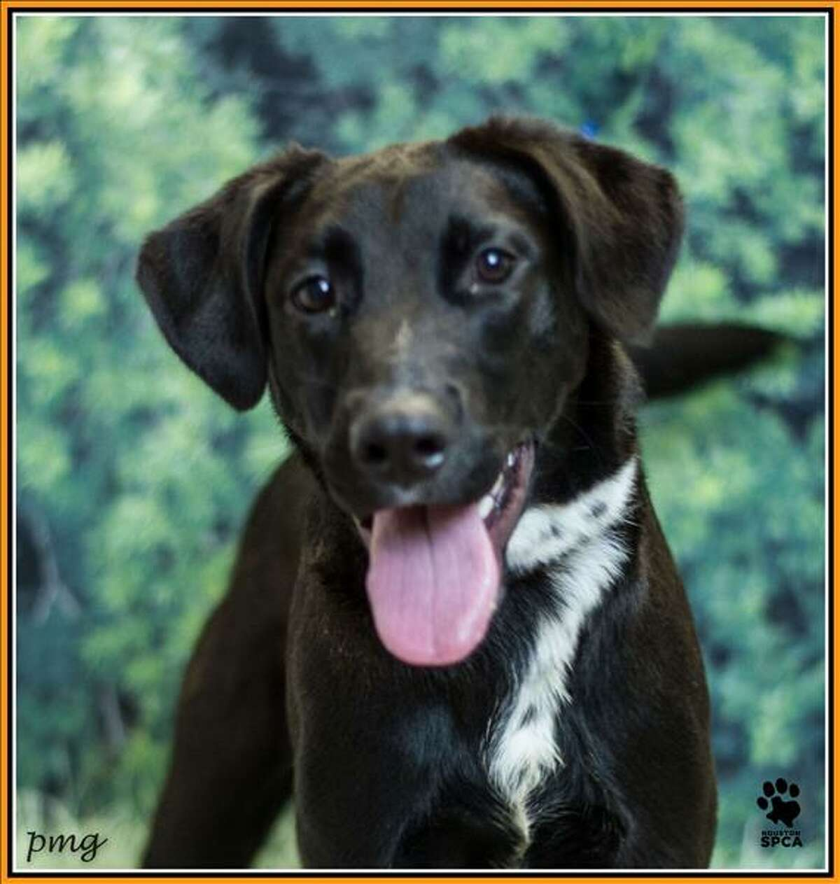 Stark is a year-old Labrador cross who is up for adoption at the Houston SPCA. He's named after Tony Stark, otherwise known as Iron Man from the Marvel comic books and movies.