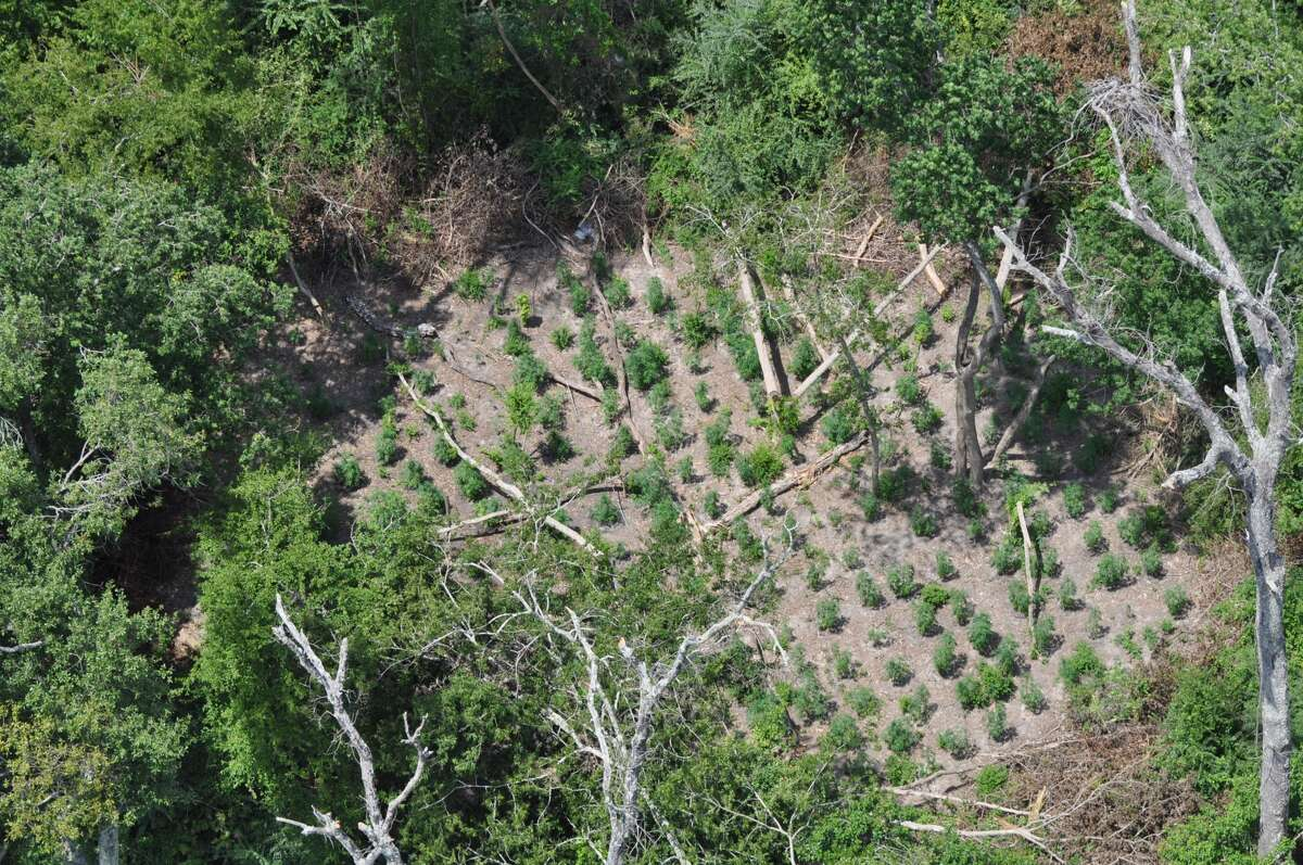 Aug. 26, 2014: A marijuana-growing operation was discovered in the Houston area thanks to an anonymous tip. Deputies reported finding approximately 1,000 marijuana plants, with some as tall as four feet in height. The estimated street value of the marijuana was set at nearly half a million dollars.