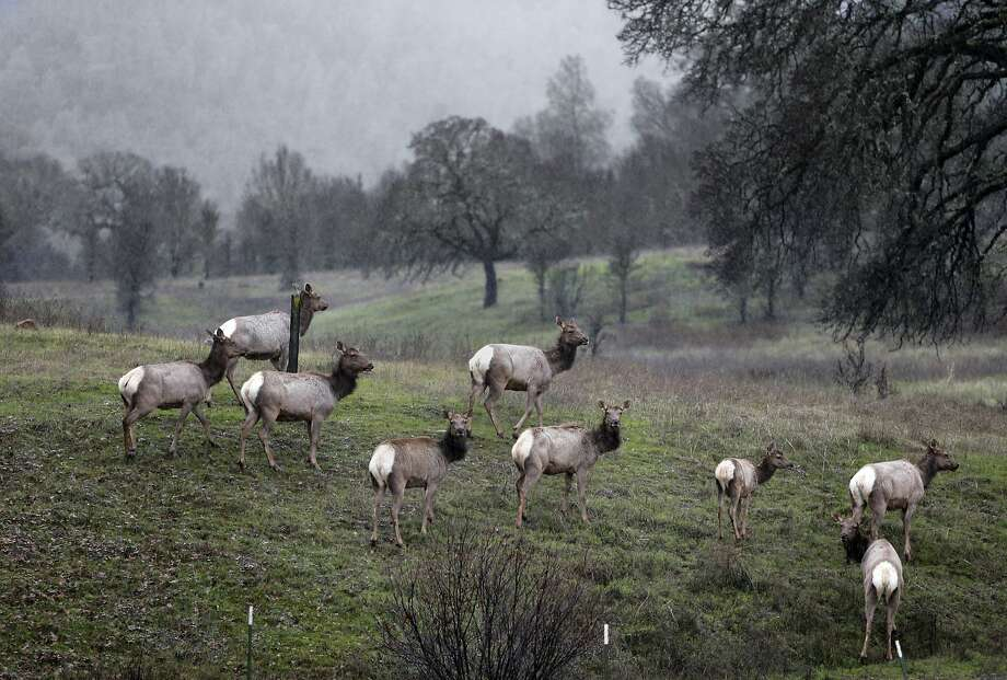 A small herd of tule elk in the Berryessa Snow Mountain area. Photo: Michael Macor, The Chronicle