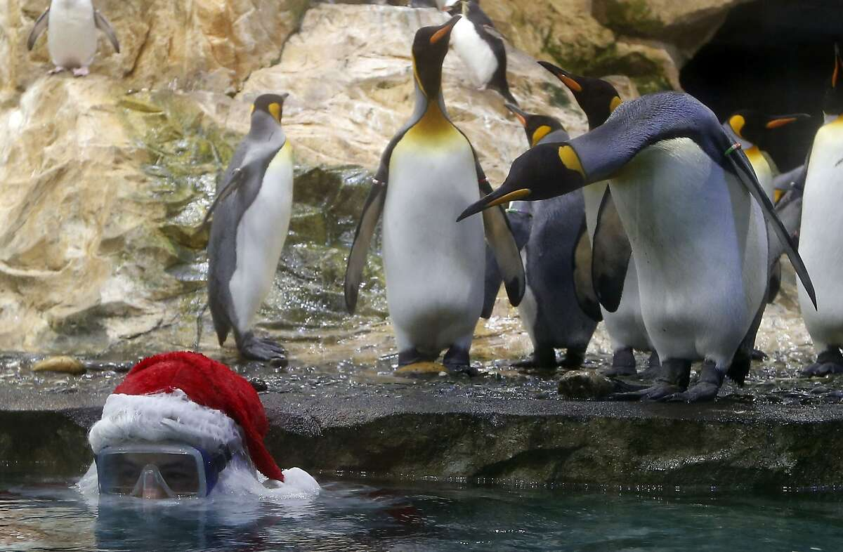 TOPSHOTS A diver wearing a Santa Claus costume poses with Royal Penguins at the Marineland animal exhibition park in the French Riviera city of Antibes, southeastern France, on December 19, 2014. AFP PHOTO / VALERY HACHEVALERY HACHE/AFP/Getty Images