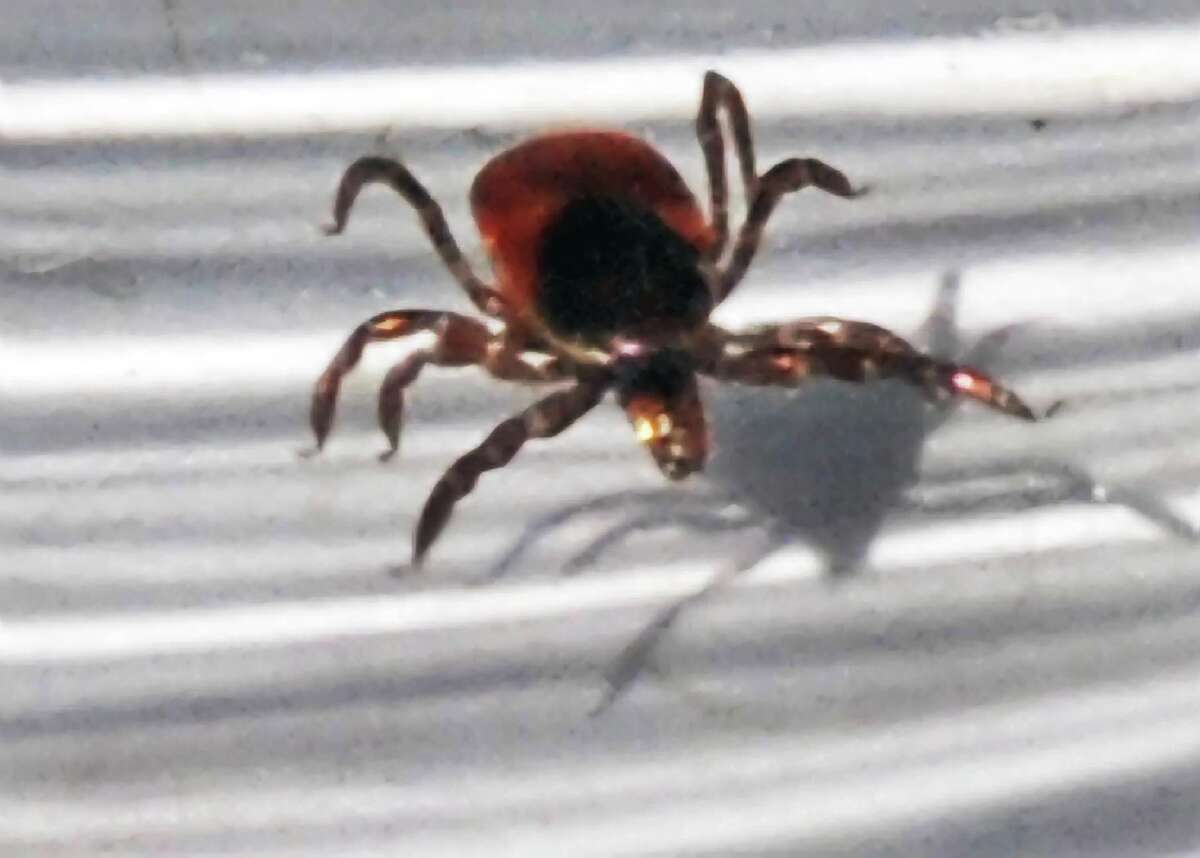A deer tick on display during a Lyme Disease Awareness event at the Vischer Ferry Preserve in Clifton Park. (John Carl D'Annibale, Times Union)