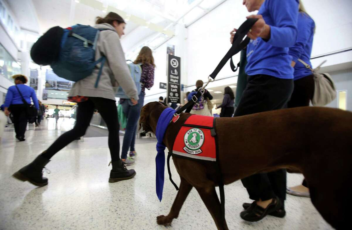 'Simond', a chocolate labrador, is part of United Airlines offering passengers comfort and holiday cheer with therapy dogs at Bush Intercontinental Airport on Monday, Dec. 22, 2014, in Houston.