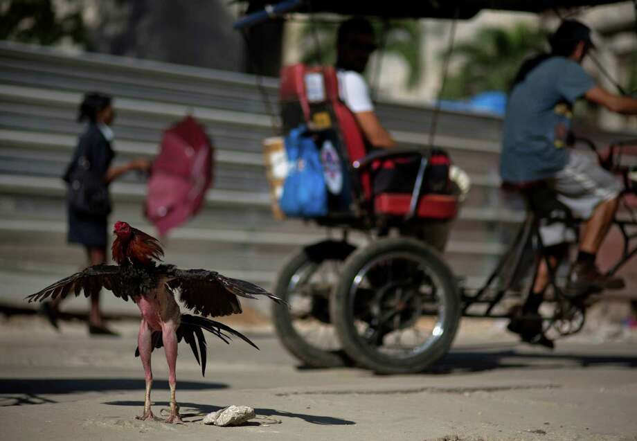 A fighting rooster waits in the sun for his next fight, in Havana, Cuba, Monday, Dec. 22, 2014. The restoration of diplomatic ties between Cuba and the United States has unleashed expectations of even more momentous changes on an island that often seems frozen in a past of classic cars and crumbling buildings. (AP Photo/Ramon Espinosa) Photo: Ramon Espinosa / Associated Press / AP