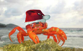 A red land crab is forced to exhibit holiday cheer during the annual migration on Christmas Island in the Indian Ocean.