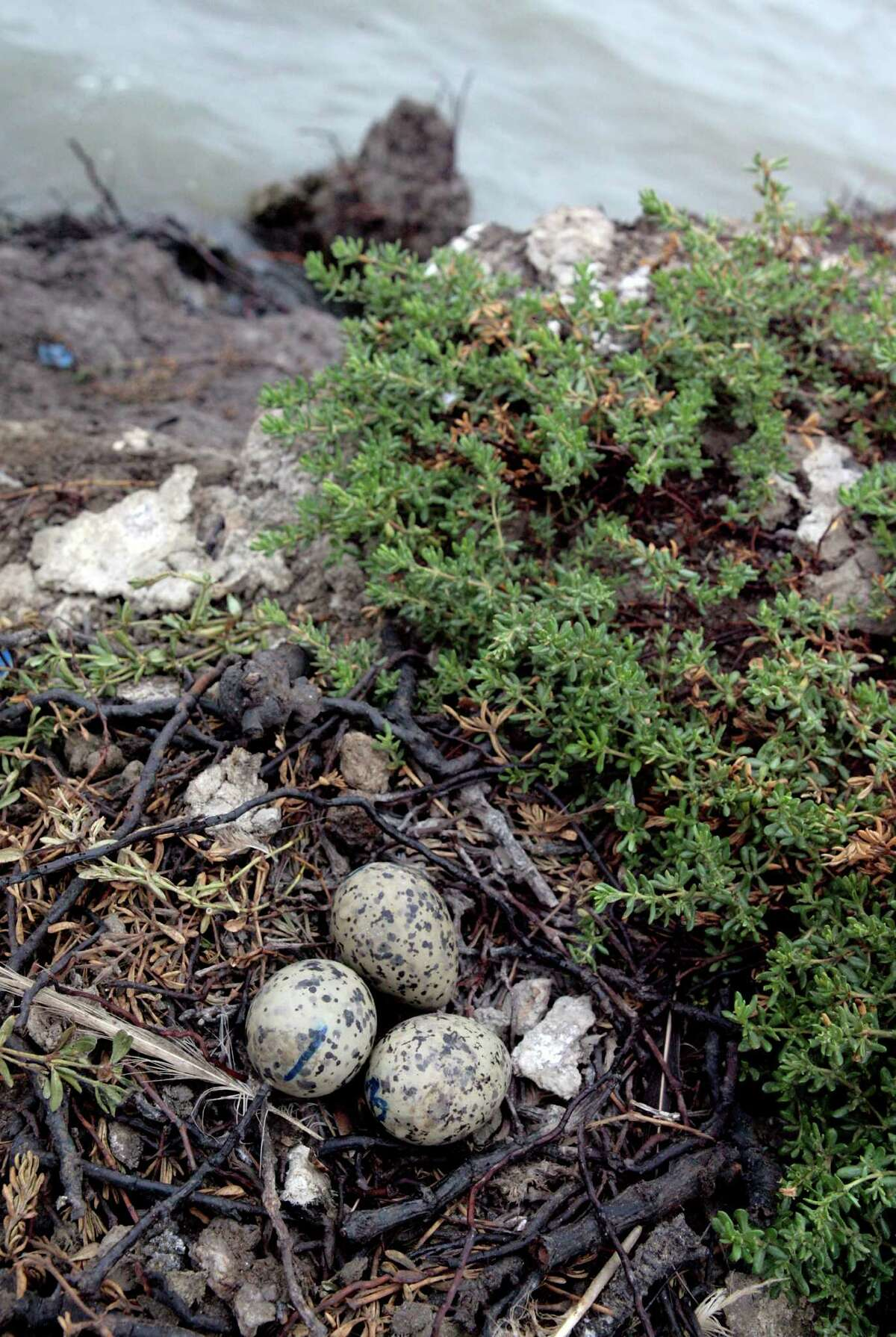 A nest on a small island in San Francisco Bay where USGS biologists Erik Nass and Jarred Barr inspect Forster's tern eggs.