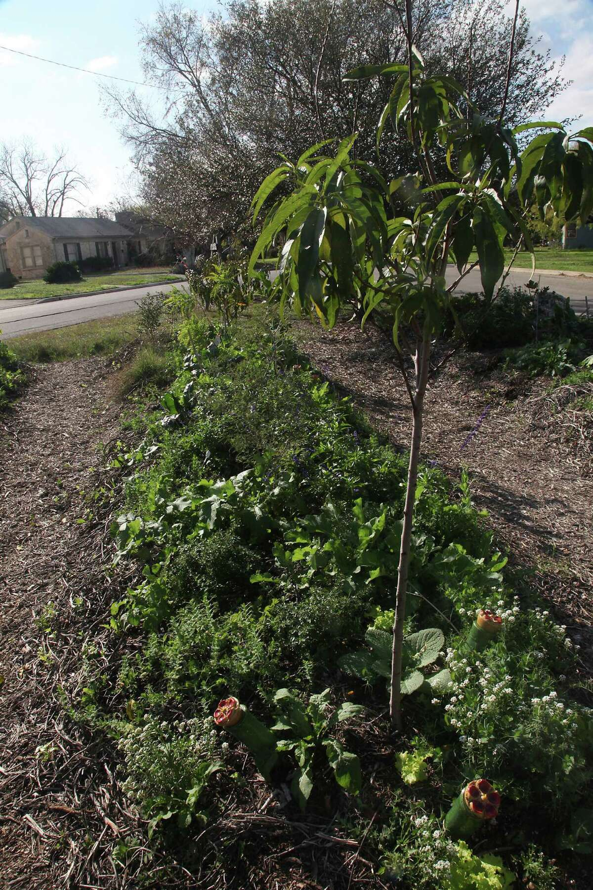 Plants ramble over a a Hügelkultur bed at Olmos Park Terrace Community Garden.