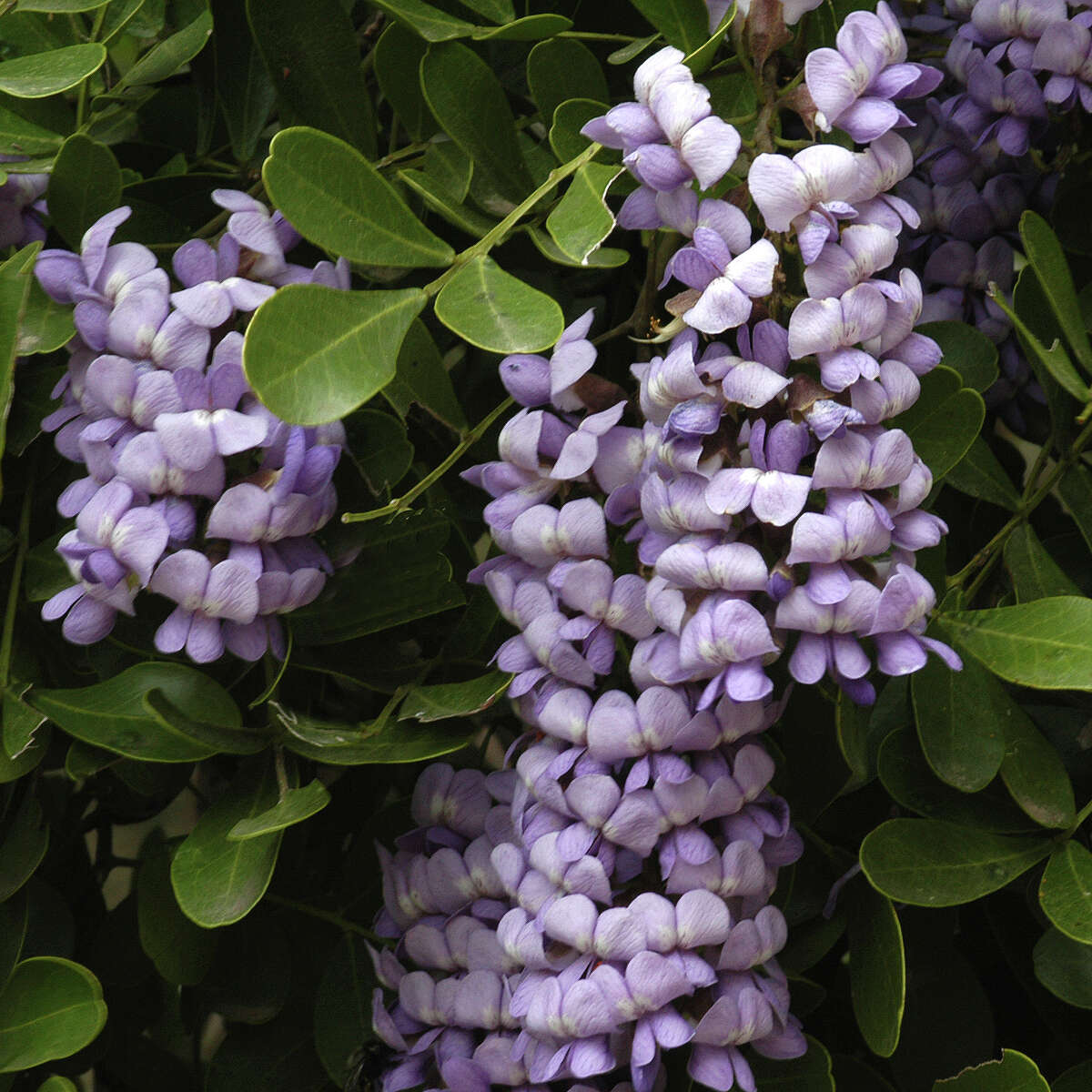 Mountain laurels are typically hardy plants. However, a vascular disease in trunks can cause their demise.