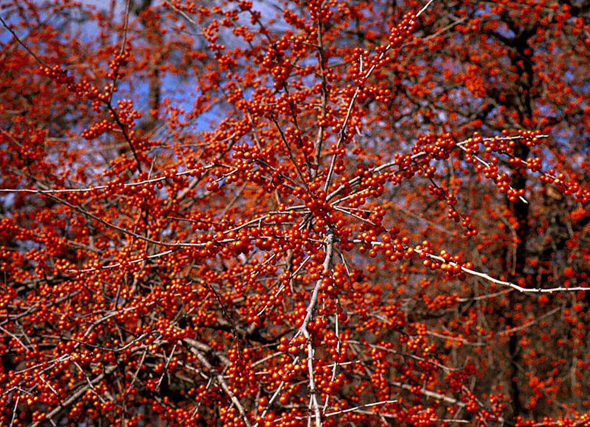 Berries on possumhaw holly attract birds to the winter landscape.