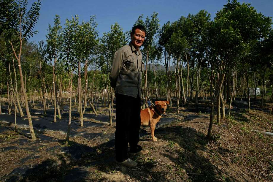 Koon-wing Chan runs Hong Kong's last commercial plantation of agarwood trees, prized for aromatic resin used to make incense, perfume and medicine. Photo: Kin Cheung / Associated Press / AP