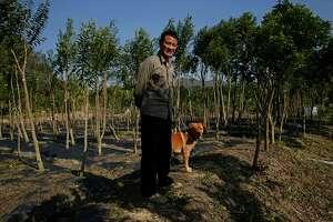 Incense trees flourish again in Hong Kong - Photo