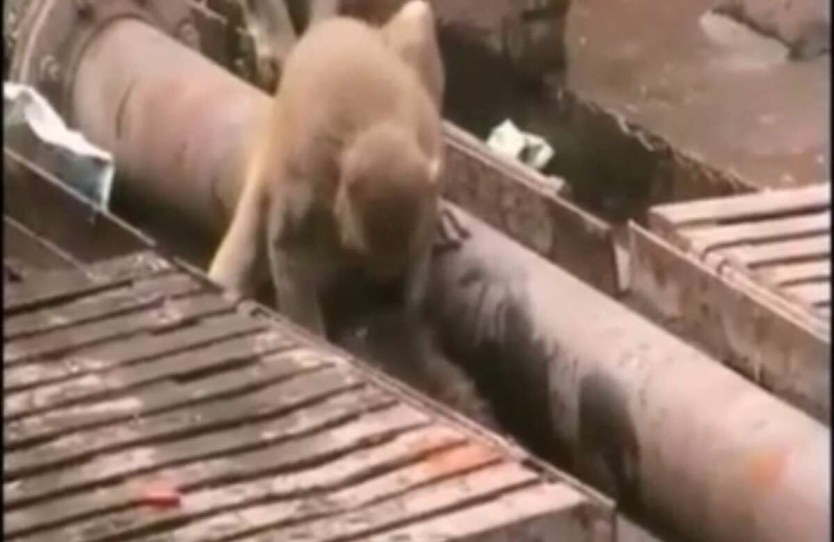 Onlookers at a train station in northern India watched in awe as a monkey came to the rescue of an injured friend - resuscitating another monkey that had been electrocuted and knocked unconscious.
