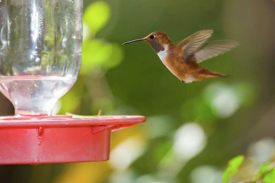 Rufous hummingbirds, which are hunted to make dried hummingbird charms, declined in population by 62 percent between 1966 and 2010, according to the North American Breeding Bird Survey. (File photo) Photo: Kathy Adams Clark / Kathy Adams Clark/KAC Productions