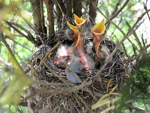A nest full of Robin hatchlings wait for food from their parents in a shrub on Norwood St. on Wednesday, June 4, 2014 in Guilderland, N.Y. (Lori Van Buren / Times Union) Photo: Lori Van Buren, Albany Times Union