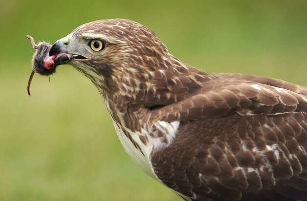 A red-tailed hawk consumes a rodent Thursday, Nov. 6, 2014, in Colonie, N.Y. (Lori Van Buren / Times Union) Photo: Lori Van Buren, Albany Times Union