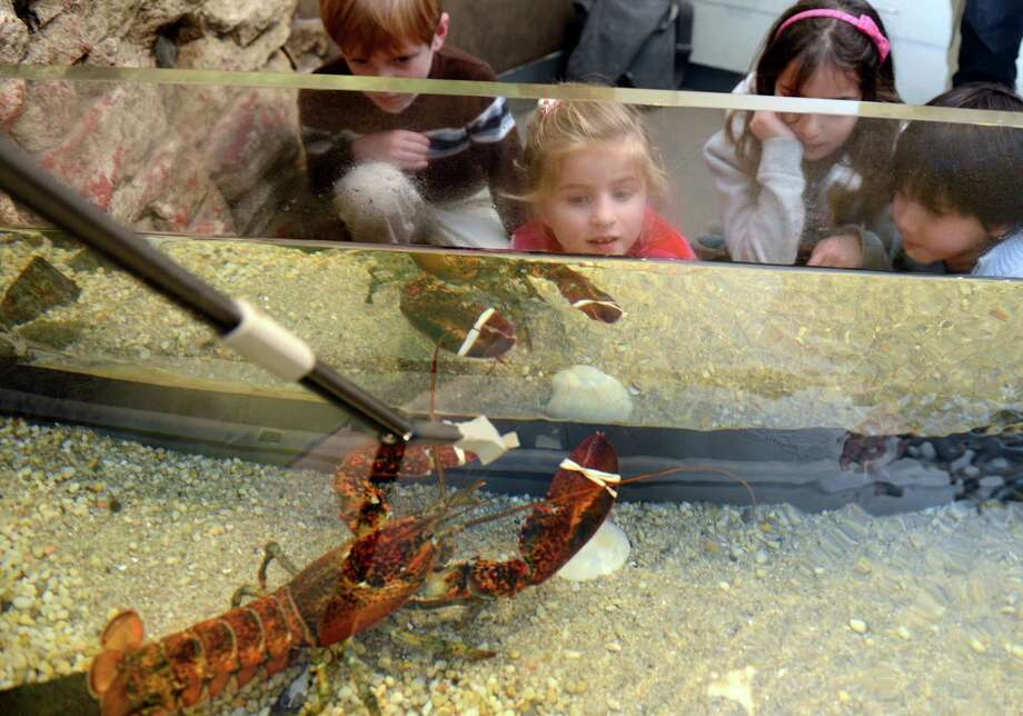 Come check out some cool sea critters at the Bruce Museum's marine Tank Animal Feeding Friday in Greenwich. Find out more.  Photo: Autumn Driscoll / Connecticut Post