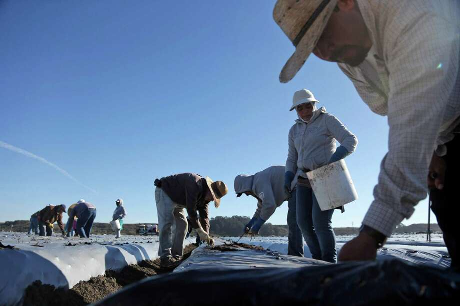 Farmworkers like these in Watsonville may opt to leave the fields for other jobs if the threat of deportation is lifted. Photo: Marcio Jose Sanchez / Associated Press / AP