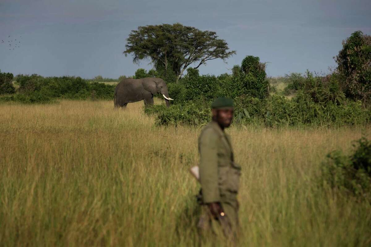 """A park ranger stands near an elephant in the Virunga National Park in the Democratic Republic of Congo, Oct. 10, 2014. Environmentalists have been fighting to keep a British oil company from drilling in Virunga, Africaé¢Ã©""""é´s oldest national park. (Uriel Sinai/The New York Times)"""