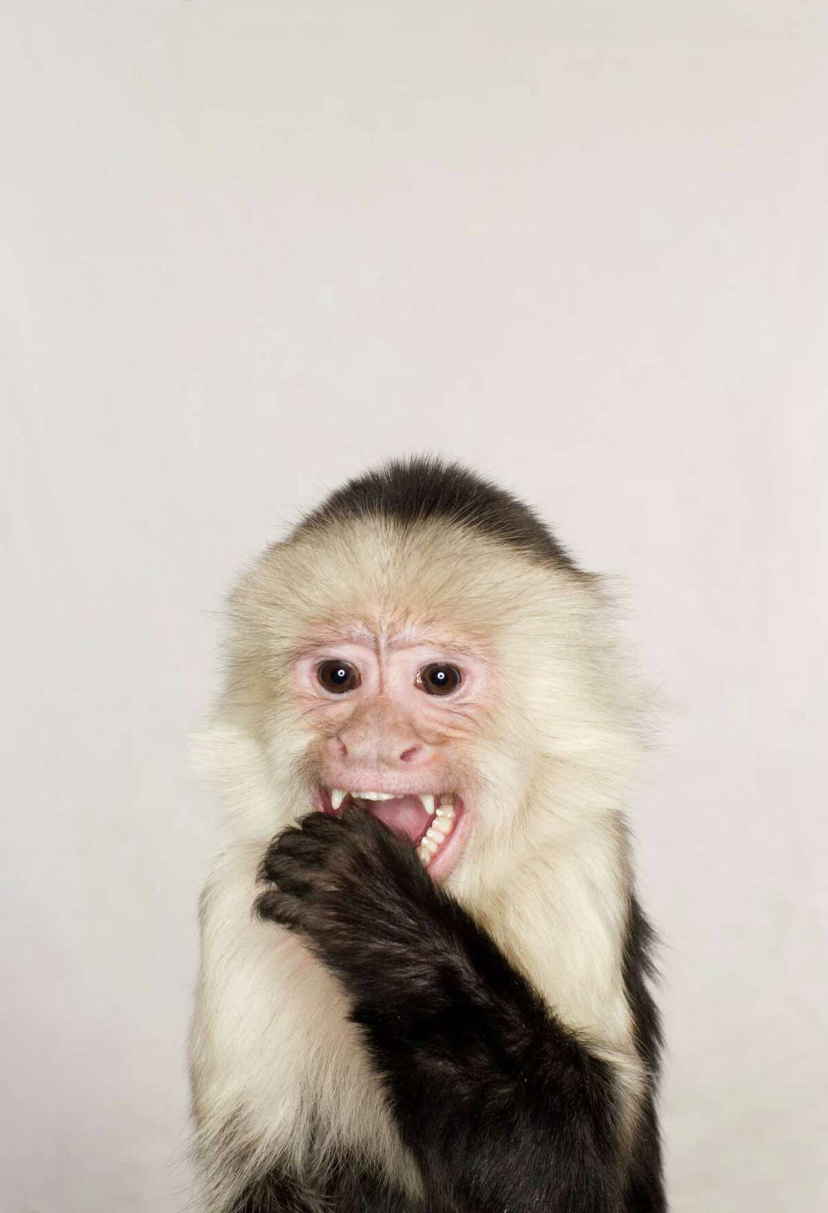 """""""S.A. man cited after pet monkey bites North Side bank employee's face"""" On Jan. 30, 2015, a San Antonio man was cited after his pet monkey, Louie, bit an employee when he took the monkey inside a bank. The man received two citations and faces fines up to $2,000. Read more: S.A. man cited after pet monkey bites North Side bank employee's face"""