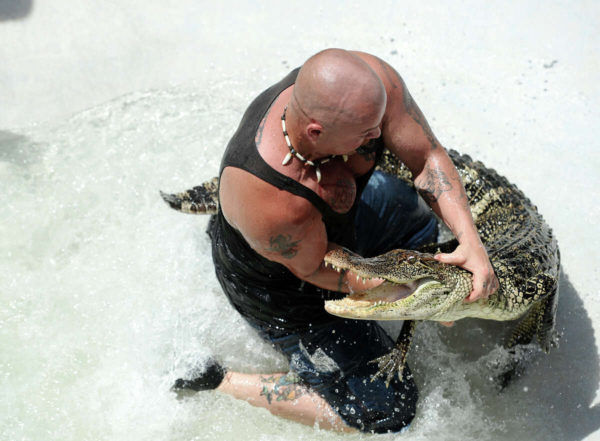 David Cooley wrestles an alligator out of the water of a swimming pool at Gator Country during Saturday's tournament. The 2014 Gator Rescue Tournament was held at Gator Country on Saturday. Photo taken Saturday 6/7/14 Jake Daniels/@JakeD_in_SETX