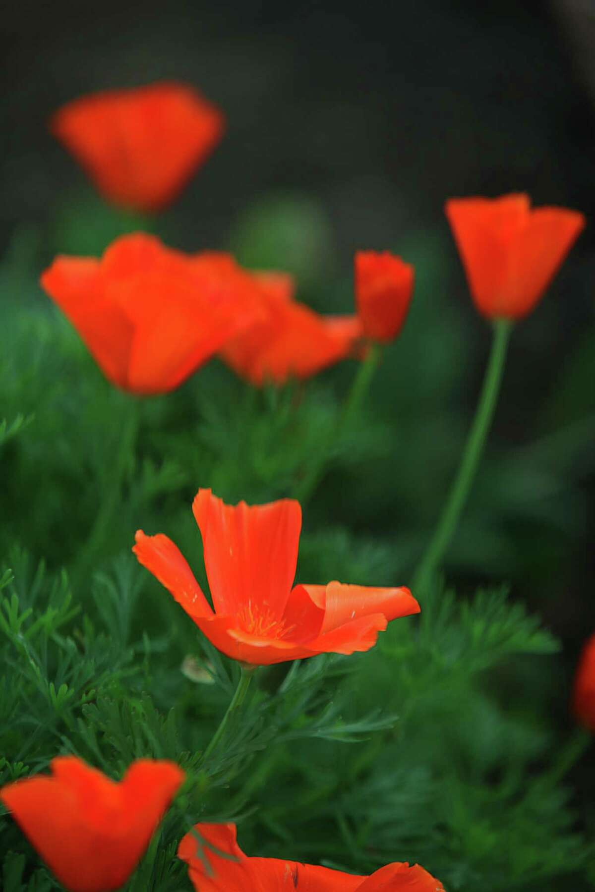 A look at poppies through an EnChroma color blindness-correcting lens in Berkeley, Calif., on Monday, December 29, 2014.