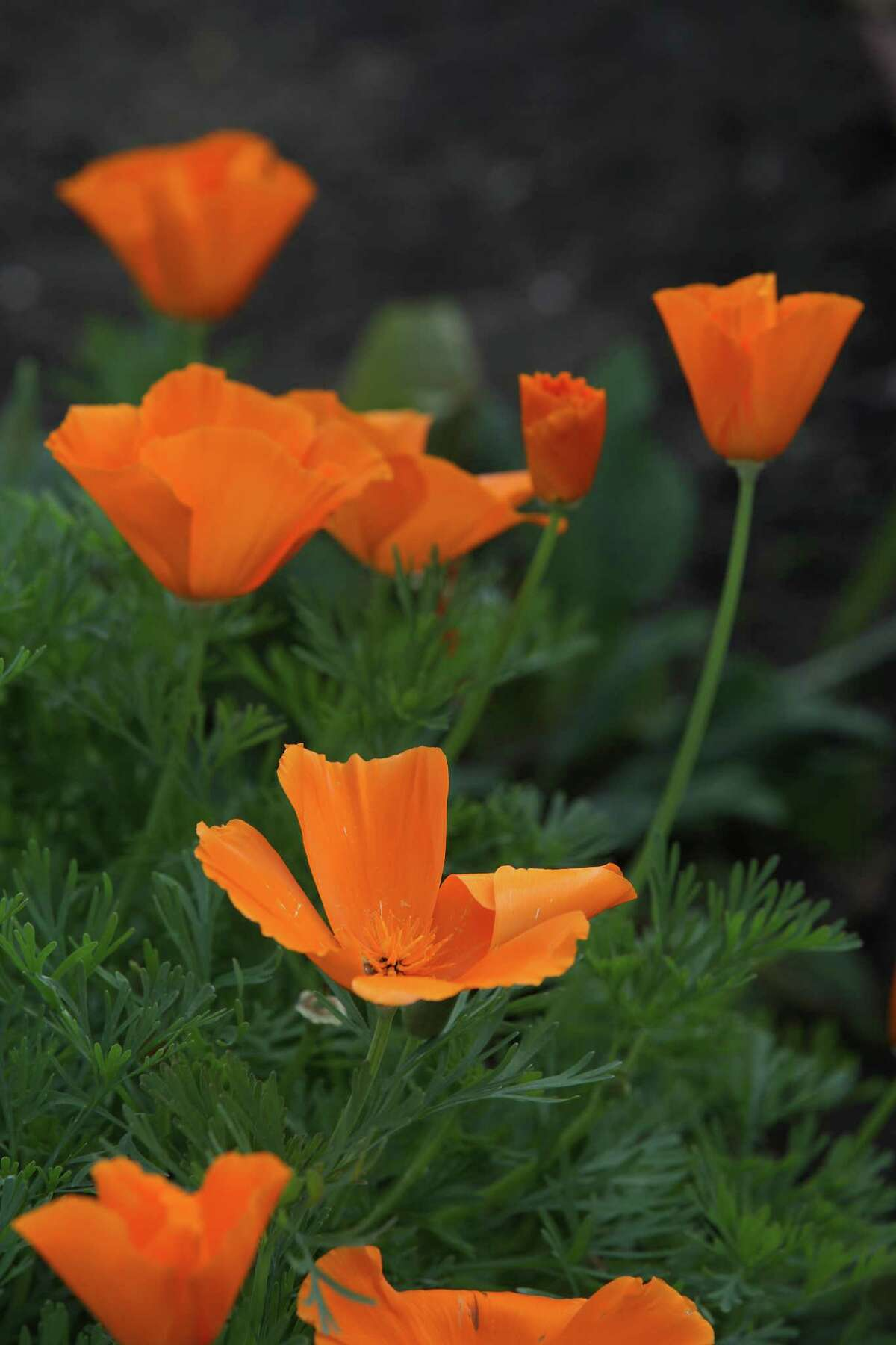 How poppies can look without an EnChroma color blindness-correcting lens. The next slide shows how poppies look with the lens.