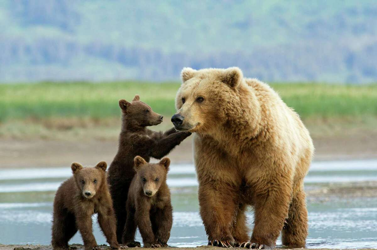 Alaskan brown bears, also known as grizzlies, can be seen near the shore at Katmai National Park, part of Natural Habitat Adventures' new bear-watching cruises.