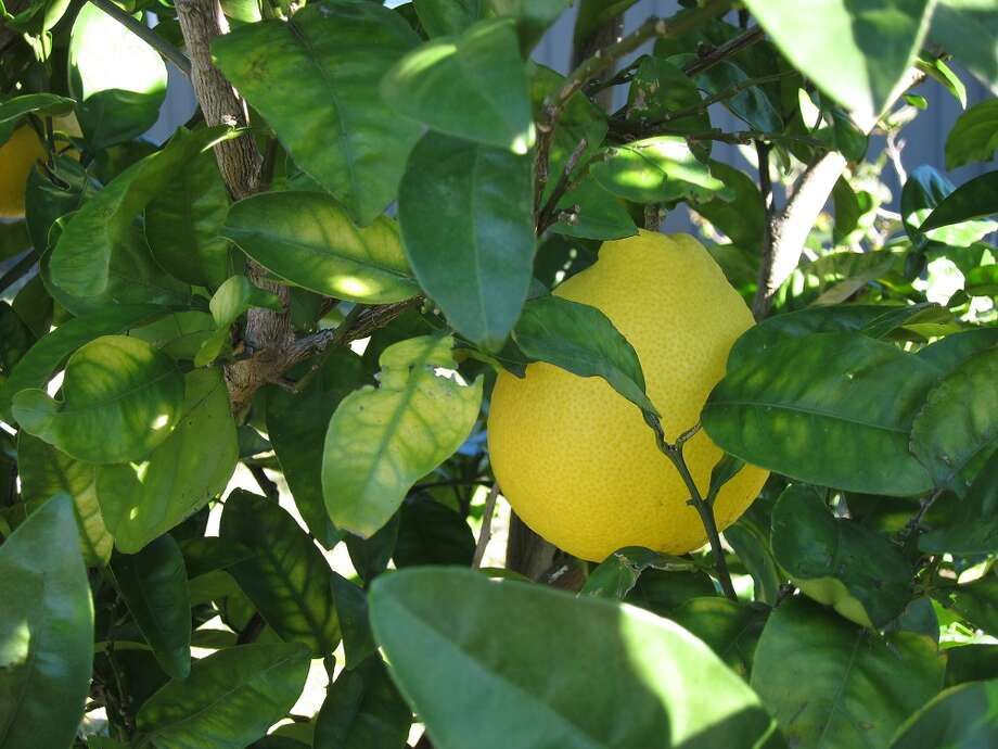 With urban landscapes becoming denser, people choosing to live in homes with smaller yards, in townhomes or apartments, growing one's own fruit trees is certainly doable. Meyer lemons are on of the 'doable' trees that can be grown in smaller areas. Photo: Chris LaChance