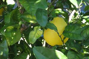 With urban landscapes becoming denser, people choosing to live in homes with smaller yards, in townhomes or apartments, growing one's own fruit trees is certainly doable. Meyer lemons are on of the 'doable' trees that can be grown in smaller areas.