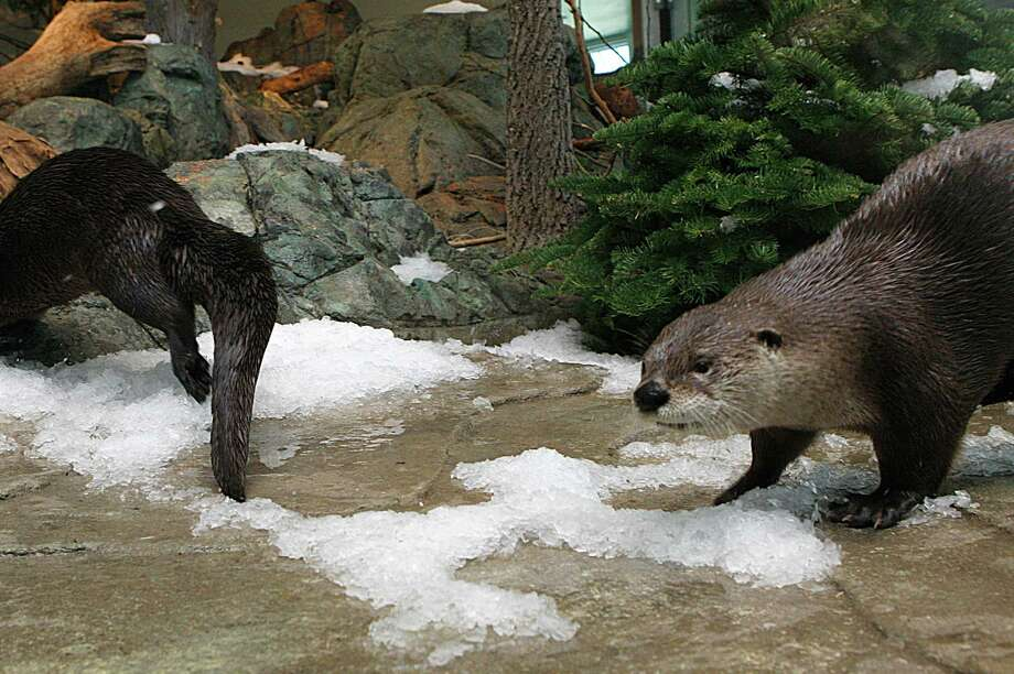 Otters check out the new snow in their exhibit at the Aquarium of the Bay. Photo: Liz Hafalia / The Chronicle / ONLINE_YES