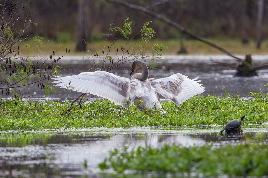 A trumpeter swan stretches its wings at Lakeside Park in The Woodlands. Photo: Kathy Adams Clark / Kathy Adams Clark/KAC Productions