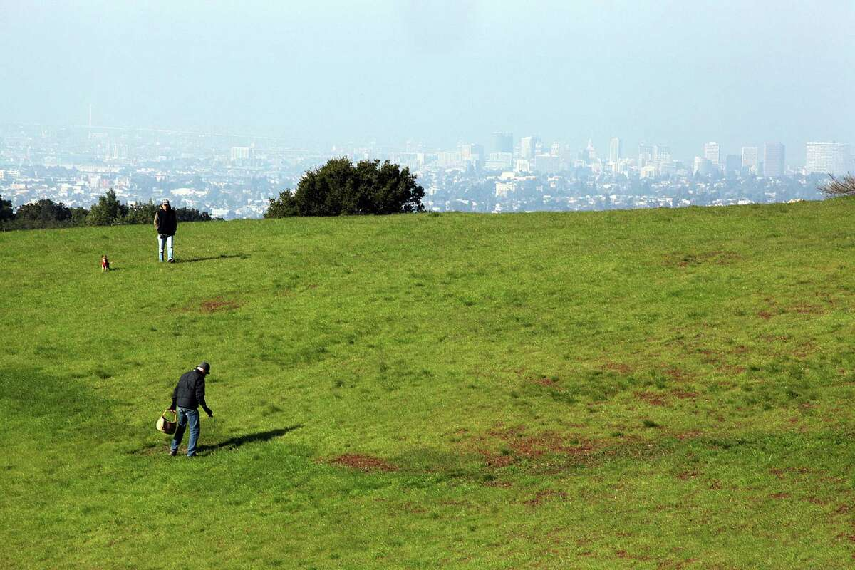 David Rust, president of the North American Mycological Association, looks for puffball mushrooms on a fairy ring, or dark area, of Knowland Park in Oakland. The fairy ring has a hundred-year growth of mushrooms.