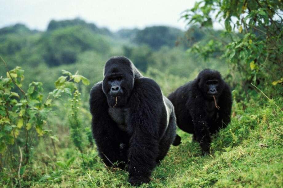 Mountain gorillas in the Virunga National Park (Congo)