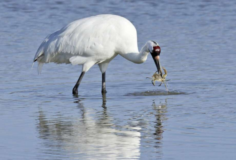 "A senior U.S. district judge in 2013 found that the TCEQ ""proximately caused"" the deaths of at least 23 whooping cranes. Photo: Associated Press"