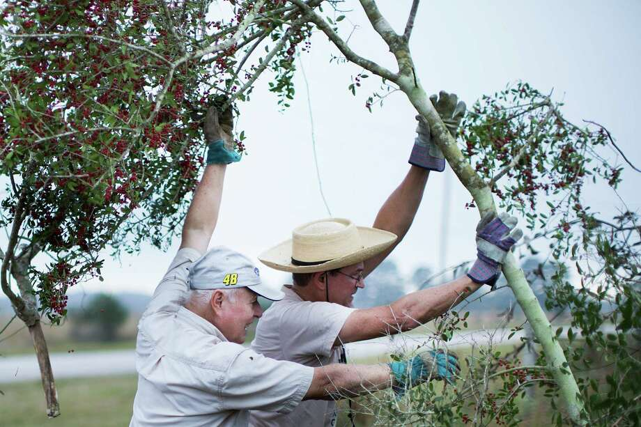 Brandt Mannchen and David Boyd put away a freshly cut tree to allow prairie grass to grow at the Nash Prairie. Photo: Marie D. De Jesus, Staff / © 2014 Houston Chronicle