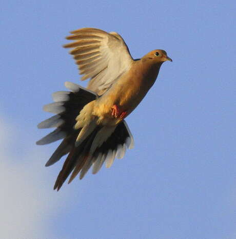 Wingshooters heading afield for Texas' winter dove season should prepare for much faster-flying and warier birds than they saw during the autumn dove season. Photo: Picasa