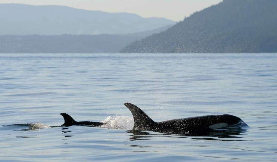 In this Tuesday, Dec. 30, 2014 photo provided by the Center for Whale Research, a new baby orca whale swims near its mother near Vancouver Island in the Canadian Gulf Islands of British Columbia. The newborn is being called J-50. With the new addition, there are now 78 of the endangered whales in the waters of British Columbia and Washington state. Photo: Ken Balcomb, AP / Center for Whale Research