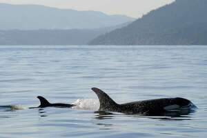 In this Tuesday, Dec. 30, 2014 photo provided by the Center for Whale Research, a new baby orca whale swims near its mother near Vancouver Island in the Canadian Gulf Islands of British Columbia. The newborn is being called J-50. With the new addition, there are now 78 of the endangered whales in the waters of British Columbia and Washington state.