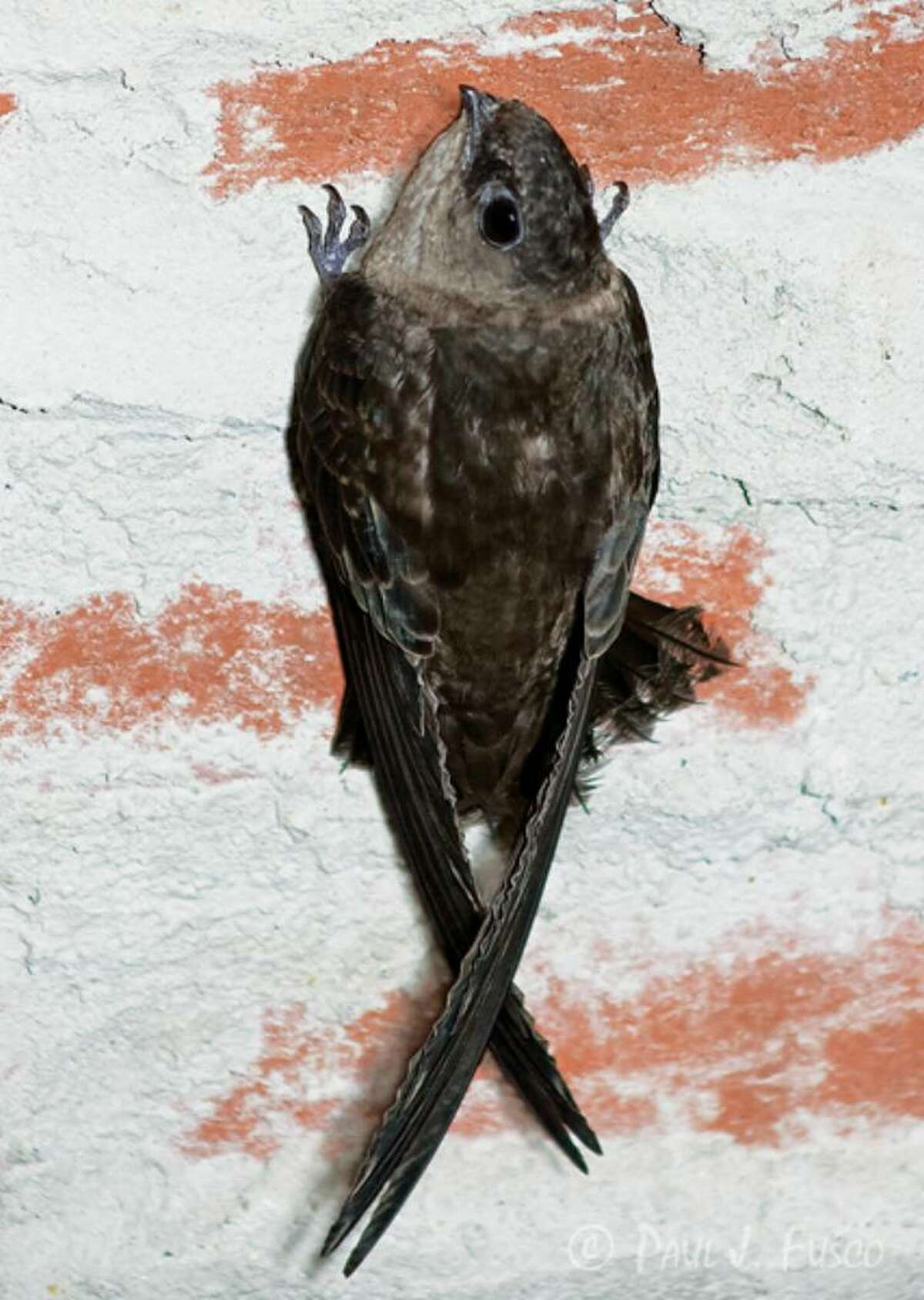Paul Fusco/Conn. DEP The chimney swift, once one of the more common birds a few decades ago, has become difficult to find in recent years, and some biologists fear that they are in sharp decline.