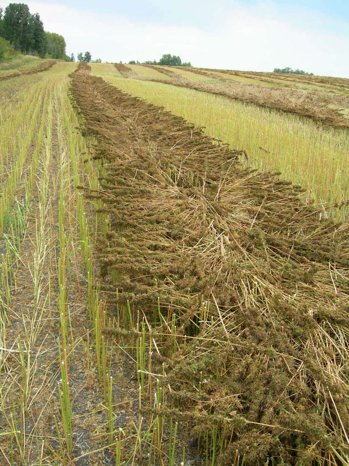 Hemp retting in the field. The process breaks down the natural glues binding fibers to the core of the hemp stalk.