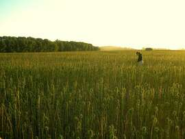 September 2011, Saskatchewan Canada. Hemp grain crop ready for harvest.