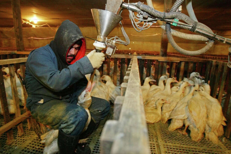 FILE - In this Dec. 9, 2003 file photo, Jorge Vargas uses a funneled pipe to force-feed a measured dose of corn mush to a Moulard duck in its pen at Sonoma Foie Gras in Farmington, Calif. Foie gras, the silky soft delicacy derived from the livers of force-fed geese and ducks, is stoking a battle of epicurean ethics in Northern California. Foie gras lovers are rejoicing after a federal judge in Los Angeles blocked California's ban on the sale of the fatty duck and goose liver. Judge Stephen V. Wilson on Wednesday, Jan. 7, 2015 permanently blocked the state attorney general from enforcing the law, which took effect two years ago.  (AP Photo/Eric Risberg) Photo: Eric Risberg / Associated Press / AP