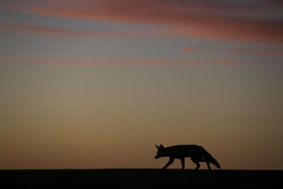 A coyote walks along the runway of a small desert airport during the fourth stage of the Dakar Rally 2015 between Chilecito, Argentina, and Copiapo, Chile. Photo: Felipe Dana, Associated Press