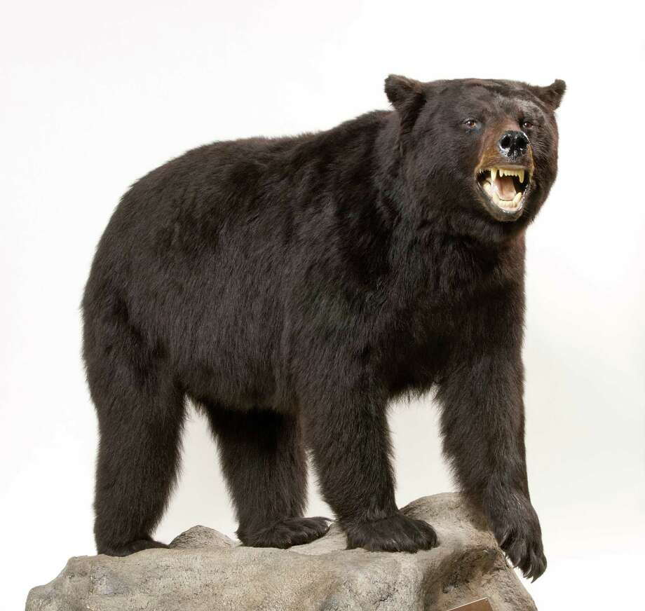 This American Black Bear, a gift from the Koontz Family is one of the hidden treasyres in the Bruce Museum's collection. Photo: Contributed Photo / Greenwich Time Contributed