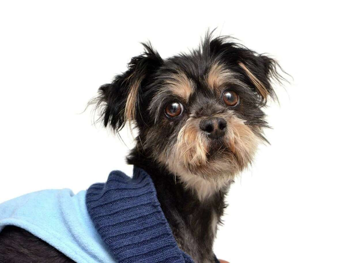 Guinevere, a 4-year-old Shih Tzu mix, was found abandoned at a dump in San Francisco Dec. 29, 2014. She was nursed back to health and is now ready for adoption.