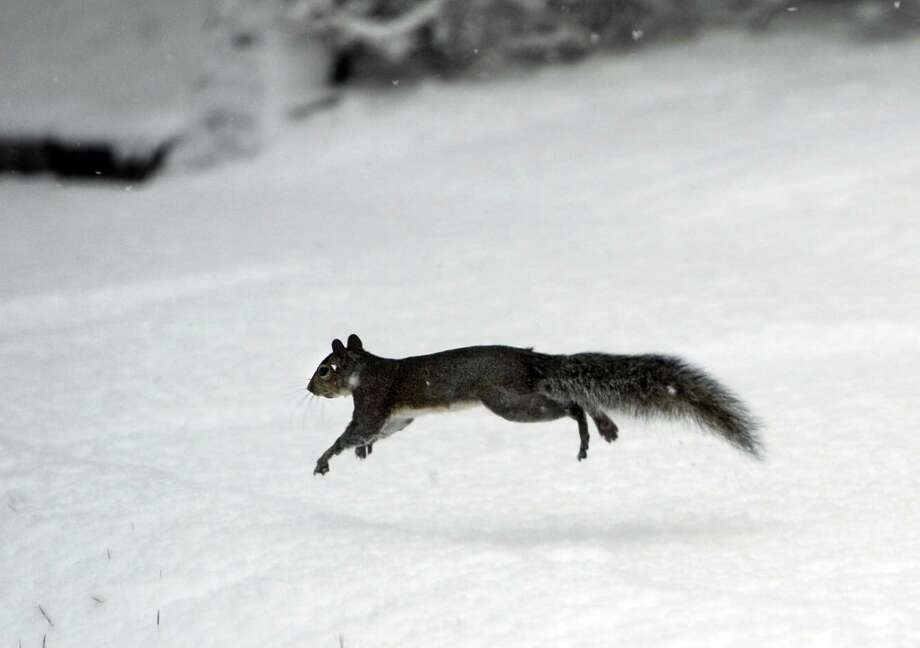 A gray squirrel scampers through the snow in Danbury. Photo: Carol Kaliff / The News-Times