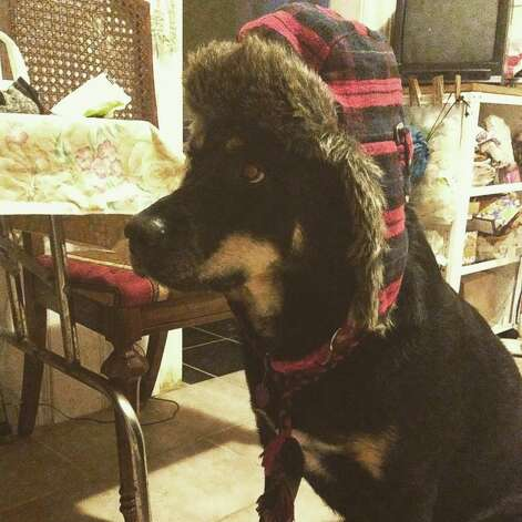 "Nero, of Albany, gets ready for the arctic cold. ""With these temperatures ...  he needs to bundle up!"" says Leahruth Saavedra."