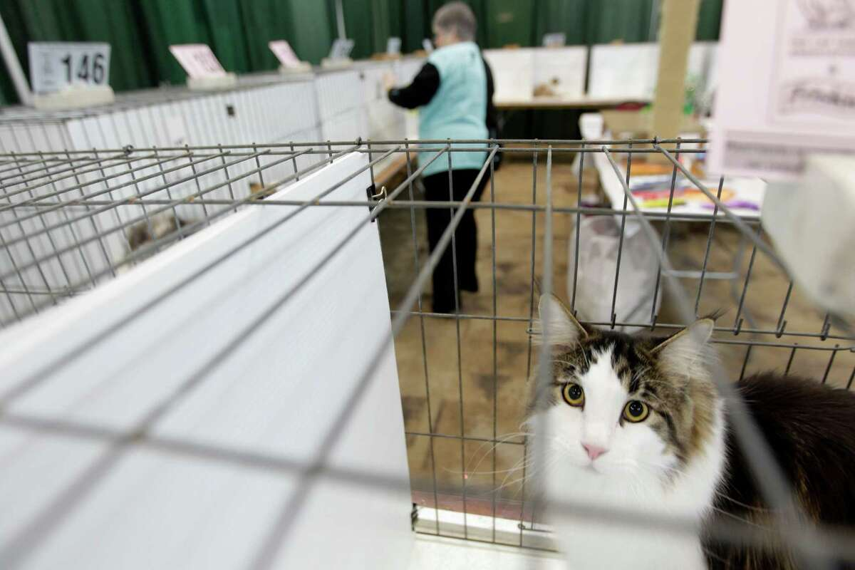 Pam Bassett judges the premiership competition during the Houston Cat Show held at the Humble Civic Center on Saturday, Jan. 10, 2015, in Humble.